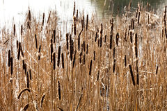 Bulrush Plant Stock Photo