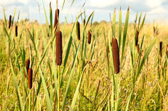 Bulrush plants Royalty Free Stock Photography