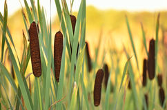 Bulrush plants Royalty Free Stock Photos