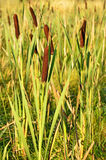 Bulrush plants Stock Photography