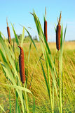 Bulrush Plants In The Swamp Royalty Free Stock Images