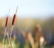Bulrush plants Royalty Free Stock Image
