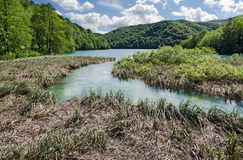 Bulrush. Plitvice. Cattails in a lake of Plitvice National Park, Croatia Royalty Free Stock Photography
