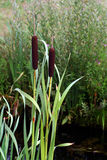 Bulrush Stock Photography