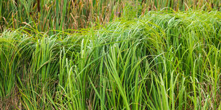 Bulrush royalty free stock photography