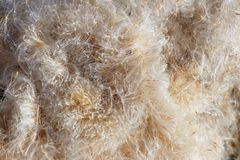 Bulrush seeds Stock Images