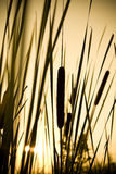 Bulrush silhouette. Bulrushes and tall grass silhouetted against setting sun Stock Image