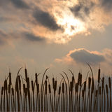 Bulrush silhouette against cloudy sky Stock Images
