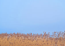 Bulrush and the sky Stock Photos