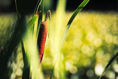 Bulrush in summer Royalty Free Stock Image