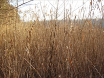 Bulrush and sun Royalty Free Stock Images