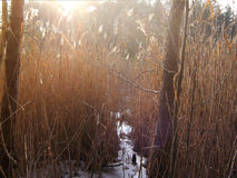 Bulrush and sun Royalty Free Stock Image