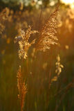 Bulrush in the sun Royalty Free Stock Photo