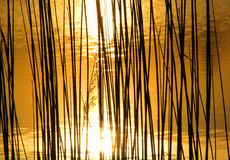 Bulrush in sunset Royalty Free Stock Image