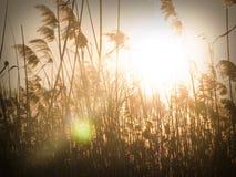 Bulrush at sunset Stock Image