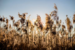Bulrush at sunset. River reeds in spring at sunset Stock Photo