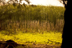 Bulrush swamp Royalty Free Stock Photo