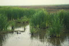 Bulrush in the swamp landscape Royalty Free Stock Photos