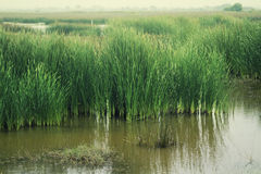 Bulrush in the swamp Stock Images