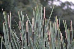 Bulrush (Typha latifolia) Royalty Free Stock Images