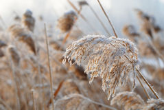 Bulrush in the wind Royalty Free Stock Photo
