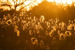 Bulrush of Xixi Wetland. Hangzhou Xixi Wetland bulrush in the setting sun Stock Images
