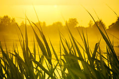Bulrush and yellow evening Royalty Free Stock Photos