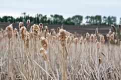 Bulrushes весеннего времени Стоковое Фото