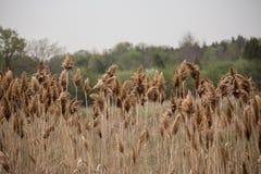 Bulrushes в болоте Стоковые Изображения RF