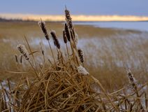 Bulrushes в зиме на береге озера Стоковое Фото