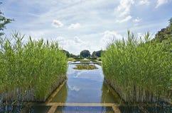 Bulrushes и пусковые площадки лилии Стоковое Фото
