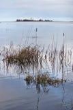 Bulrushes и тростники на Реке Fraser Стоковые Фото