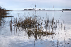 Bulrushes и тростники реки Стоковое Изображение RF