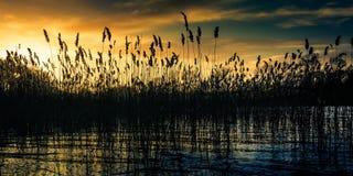 Bulrushes на заходе солнца Стоковые Фотографии RF