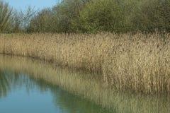Bulrushes озером Стоковое Фото