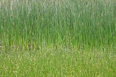 Bulrushes Стоковые Изображения RF