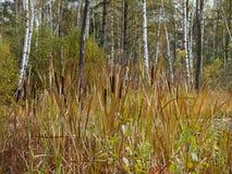 bulrushes Стоковое фото RF