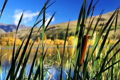 Bulrushes Stock Photos