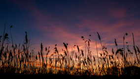 The bulrushes against sunlight over sky background in sunset with a flighting Stock Photography