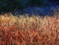 Bulrushes and cattails in a small swamp royalty free stock images