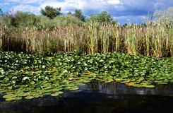 Bulrushes and Lily Padsbulrush Royalty Free Stock Photos