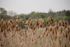Bulrushes in a marsh Royalty Free Stock Images