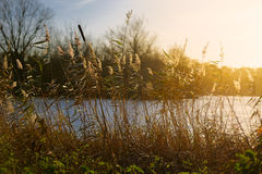 Bulrushes and Reeds by Lake Stock Image