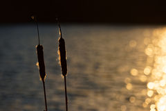 Bulrushes by Sunkissed Water Stock Photo