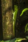 Bult besnuffelde hagedis op een boom in Sinharaja-Regenwoud, Sri Lanka royalty-vrije stock afbeelding