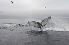 Bultrug, Humpback wieloryb, Megaptera novaeangliae fotografia stock