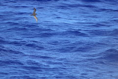 Bulwer`s Petrel Royalty Free Stock Photography