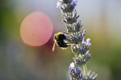 Bumbelbeeist die op een lavendelbloem zitten in de tuin Stock Afbeelding