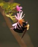 Bumblbee na coneflower roślinie Zdjęcia Stock