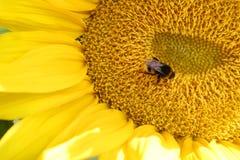 Bumblbee on sunflower Stock Photo